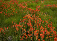 beautiful, high, mountain, meadow, lush, Wyoming Paintbrush, Castilleja linariifolia, White Mountains, California, red,