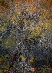 wild, elegant, wiry, form, electric, Honey Mesquite, Prosopis glandulosa, fall, hues, autumn, color, yellow, orange, green, Death Valley, canyon