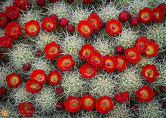 color,photo,picture,Mojave Mound Cactus,claret cup, kingcup cactus, Echinocereus triglochidiatus,Mojave desert,bloom,flowers,cactus,red,brilliant, wildflowers,buds,Mojave National Preserve,California