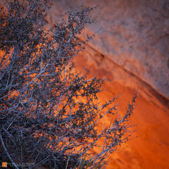photo,picture,color,blackbrush,Coleogyne ramosissima,glowing,glow,orange,red,sandstone,Mesa Arch,backlight,backlit,sunrise,Island in the Sky,Canyonlands National Park,Utah