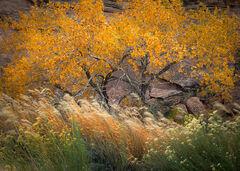 photo, picture, fall, autumn, hues, Fremont Cottonwood, trees, yellow, Populus fremontii, pose, Phragmites australis, Rabbitbrush, Ericameria nauseosa, wind, motion, breeze