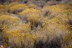 color,photo,picture,dried flowers,yellow,field,winter,shrubs,somber,quiet,fallow,Last Chance Range,Death Valley National Park,California