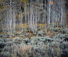 complementary, Big Sagebrush, Artemisia tridentata, Quaking Aspen, Populus tremuloides, Great Basin, late, autumn, leaves, clinging, trees, Eastern Sierra Nevada, California