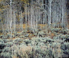 picture, photo, aspen, sagebrush, autumn, fall color, Sierra Nevada, landscape, fine art print