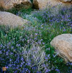 Distant Phacelia, Phacelia distans, wildflowers, woven, beautiful, granite, boulders, Anza-Borrego, California