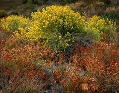 rubber, rabbitbrush, Ericameria nauseosa, California, buckwheat, Eriogonum fasciculatum, autumn, color, Chrysothamnus nauseosus