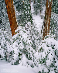 picture, photo, incense cedar, San Gorgonio, wilderness, snow, fine art print