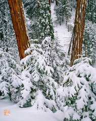 incense cedar, trees, San Gorgonio, Calocedrus decurrens, wilderness, snow,