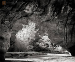 Coyote Natural Bridge, Grand Staircase-Escalante, Coyote Gulch, Glen Canyon, cottonwood trees, geology, Great Basin, black and white, fine art photograph, fine art print, photo, picture