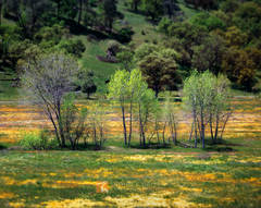 spring, meadow, wildflowers, impressionistic, Cottonwood, Populus fremontii, green, hillside, oak, trees