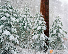 snow, San Gorgonio Wilderness, white fir, Abies concolor, Jeffrey pine, Pinus jeffreyi, contrast, covered, white, winter, landscape