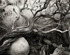 Manzanita, Arctostaphylos, twisted, grasses, boulder, Joshua Tree National Park, Mojave Desert, black and white, fine art photograph, fine art print, photo, picture