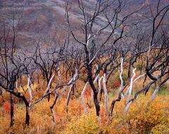 picture, photo, autumn, fall color, Wasatch Mountains, scrub oak, fine art print