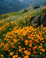 picture, photo, California poppies, poppy, wildflowers, mountains, green hills, landscape, fine art print