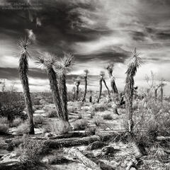 Joshua, trees, Yucca brevifolia, Mojave,desert, clouds, sky, cirrus, b/w, black and white, large format, fine art, photograph, print, picture