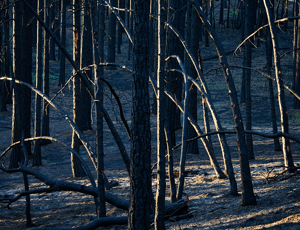 Alamo Mountain, Los Padres National Forest, black forest, burned forest, pine trees, Day Fire, photo, picture, photo