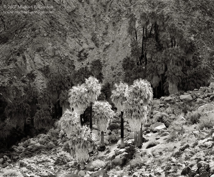 picture, photo, Forty Nine Palms Oasis, 49 Palms Oasis, Joshua Tree National Park, native palm tree, Washingtonia filifera, black and white, landscape, fine art print, photo