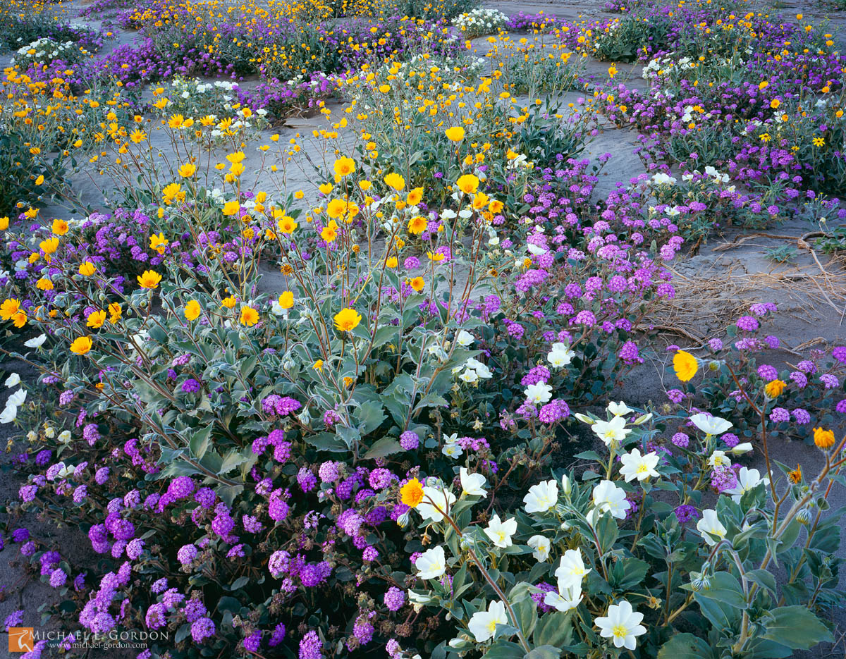 spring,desert wildflower,bloom,carpet,Borrego Valley,sand dunes,California,Desert Sunflower,Geraea canescens,Sand Verbena,Abronia villosa,Dune Evening Primrose,Oenothera deltoides,color,large format,p, photo