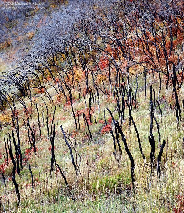 picture, photo, scrub oak, grass, burned trees, fall color, rejuvenation, fine art print, photo