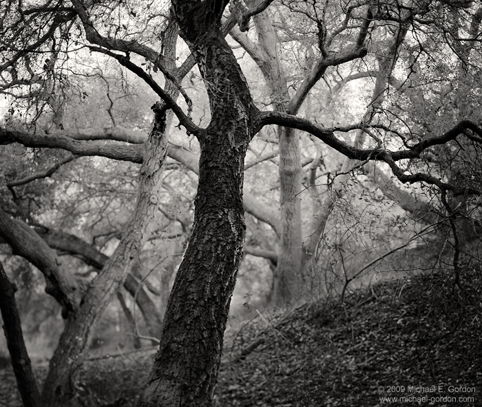 black and white, fine art photograph, fine art print, photo, picture, oak trees, dusk, dancing, form, photo