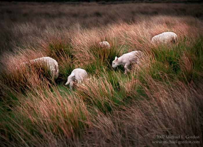 picture, photo, sheep, Scotland, landscape, fine art print, photo