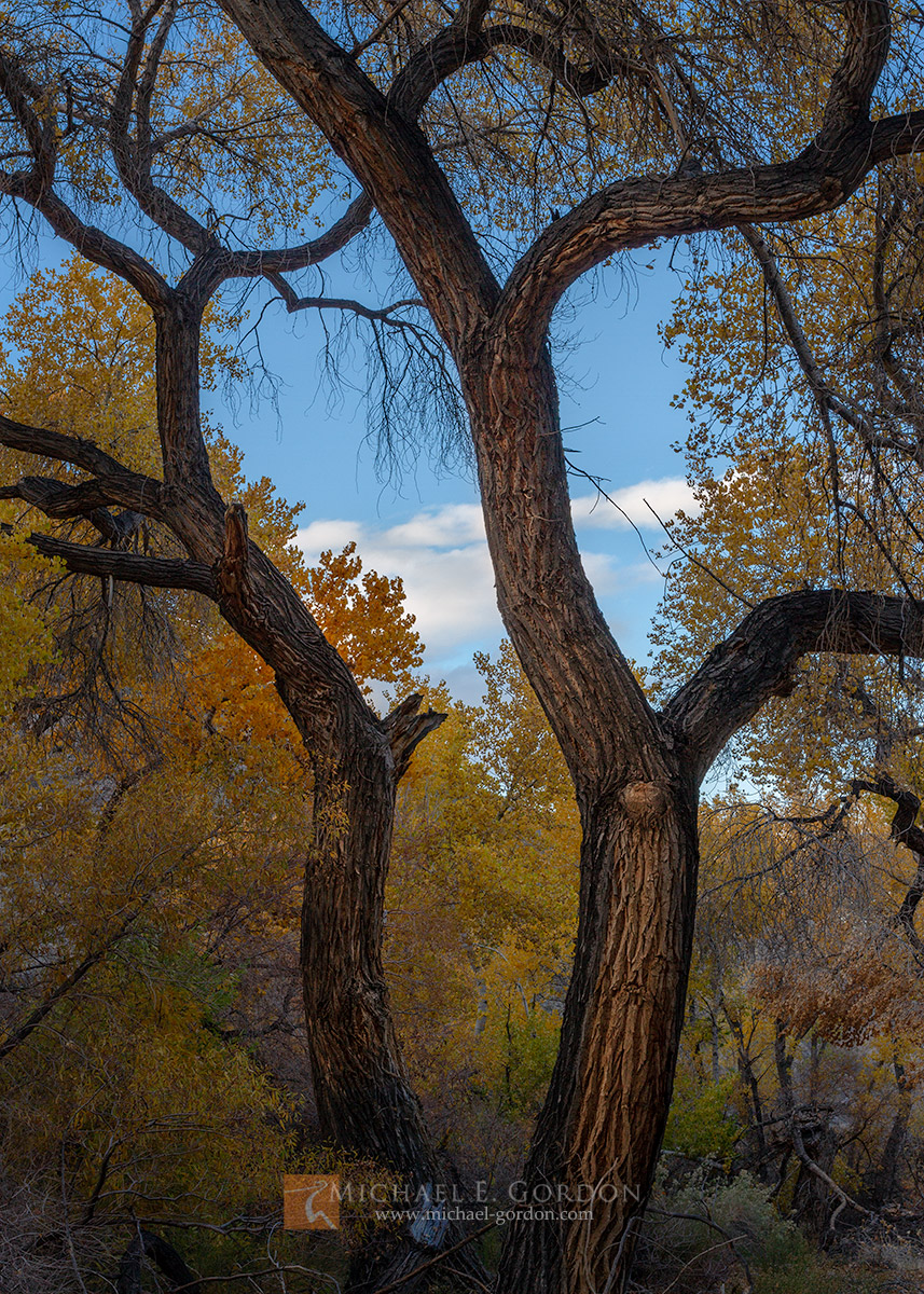 color,photo,picture,trees,Fremont,Cottonwood,Populus fremontii,dance,sway,beautiful,autumn,fall,blue,yellow,gold,warm,glow,brilliant,clouds,sky,bark,furrowed,rough,Death Valley, photo