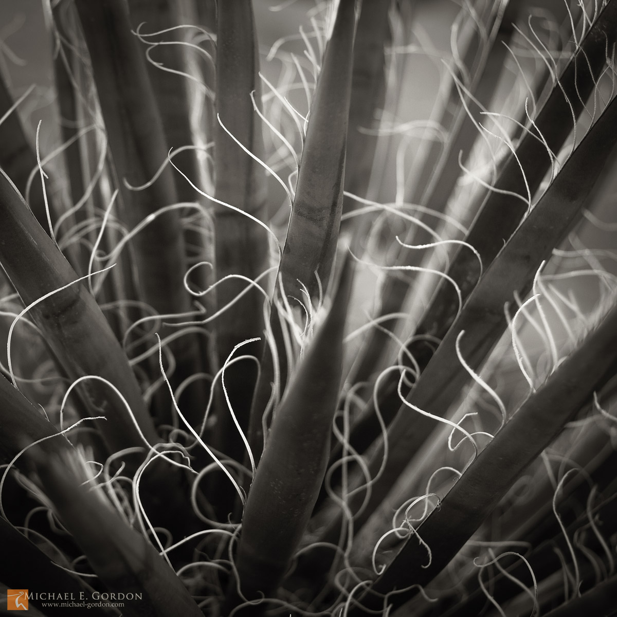 photo,picture,b/w,black and white,Mojave Yucca,Yucca schidigera,close up,abstract,shallow focus,square, soft,Joshua Tree National Park,backlight,backlit,fine art, photo