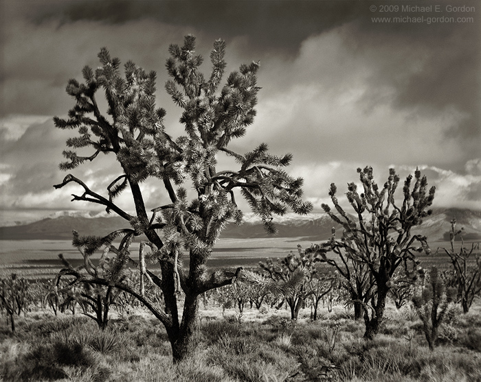 fine art photo, picture, fine art photograph, fine art print, black and white, b/w, Joshua Tree, Yucca brevifolia, Mojave Desert, California, photo
