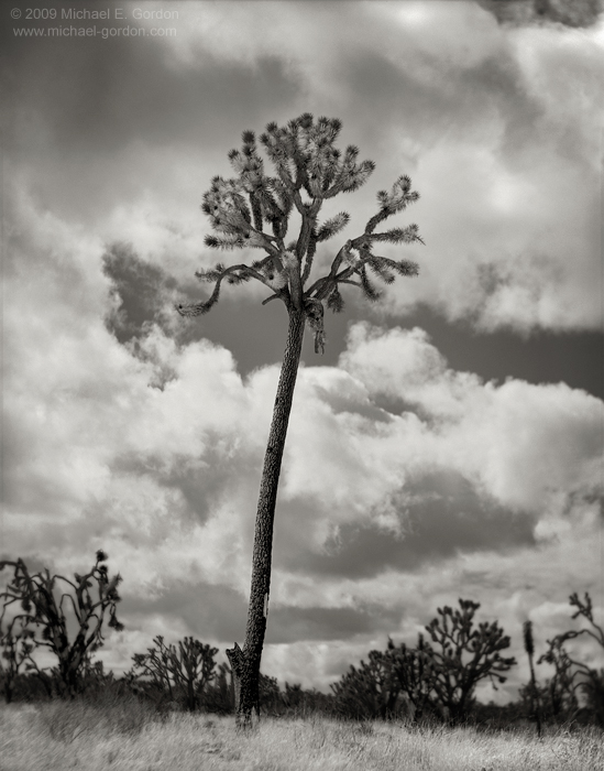 fine art, photo, picture, photograph, print, black and white, b/w, Joshua Tree, Yucca brevifolia, Mojave Desert, California, photo
