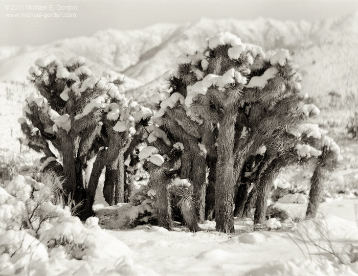 Joshua Trees, Yucca brevifolia, family, group, Sierra Nevada, Walker Pass, mountains, winter, snow covered, Mojave Desert, California, black and white, large format, photo, picture, color, photo