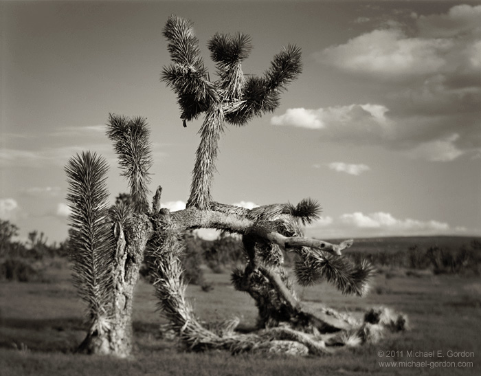 unusual, regrowth, prostrate, Joshua Tree, Yucca brevifolia, clouds, sky, Cima Dome, Mojave National Preserve, Mojave Desert, California, black and white, large format, photo, picture, color, photo