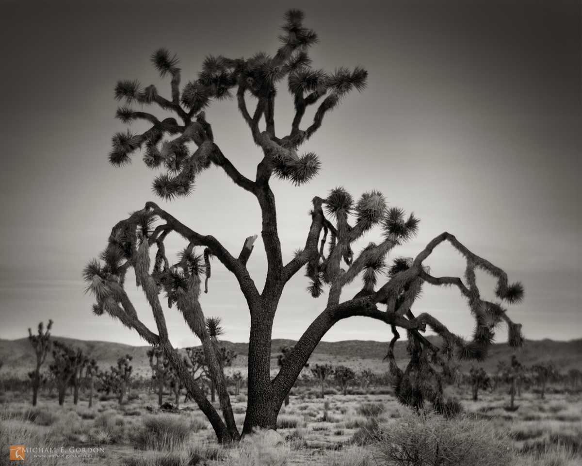 photo,picture,serene,morning,dawn,large,robust,giant,Joshua tree,Yucca brevifolia,Lost Horse Valley,mountains,hills,Joshua Tree National Park, photo