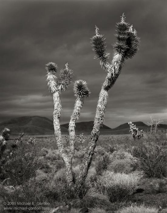 fine art, photo, picture, photograph, print, black and white, b/w, Joshua Tree, Yucca brevifolia, Mojave Desert, California, photo