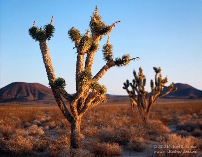 fine art photograph, color, photo, picture, large format, Joshua trees, Yucca brevifolia, sunrise, cinder cones, Mojave National Preserve, Mojave Desert, volcano, Cinder Cones National Natural Landmar, photo
