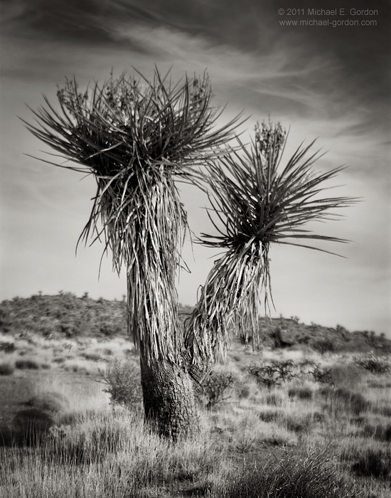 Mojave Yucca, Yucca shidigera, cirrus clouds, sky, Mojave National Preserve, Mojave Desert, flora, California, photo, picture, photo