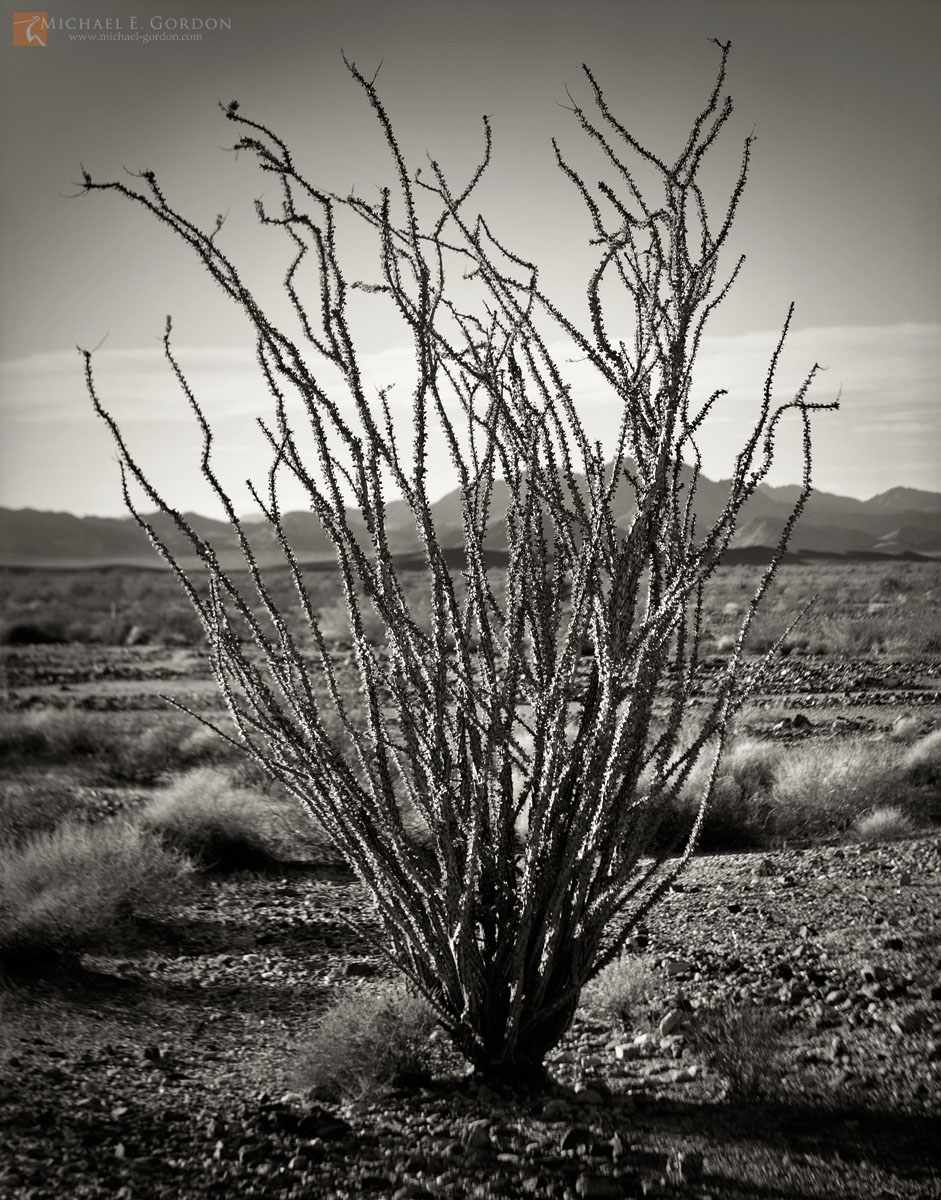 black and white, fine art photograph, print, picture, Ocotillo, Fouquieria splendens, Sonoran, Colorado, photo