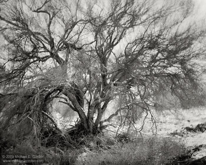black and white, fine art photograph, fine art print, photo, picture, Palo Verde, Cercidium floridum, Mojave Desert, backlight, backlit, form, photo