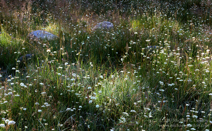 picture, photo, meadow, wildflowers, grass, Parish's Yampa, Perideridia parishii, Sierra Nevada, Rock Creek Canyon, landscape, fine art print, photo