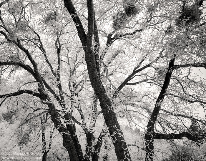 black and white, fine art photograph, fine art print, photo, picture, oak trees, rime ice, hoar frost, cold, frozen, photo