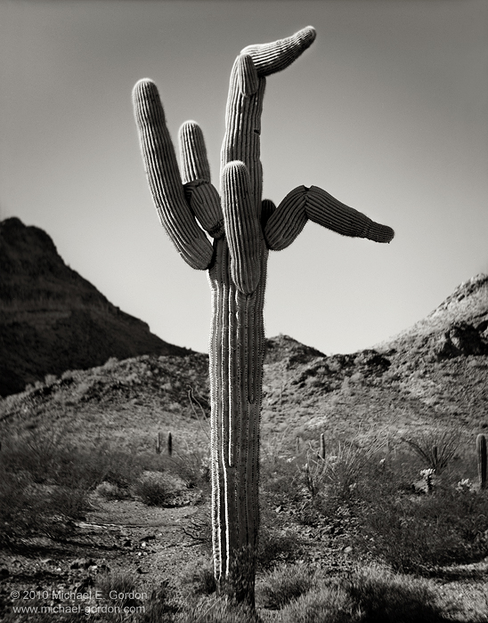 saguaro cactus, Carnegiea gigantea, unusual, odd, funny, Castle Dome Mountains, KOFA National Wildlife Refuge, Arizona, black and white, large format, photo, picture, photo