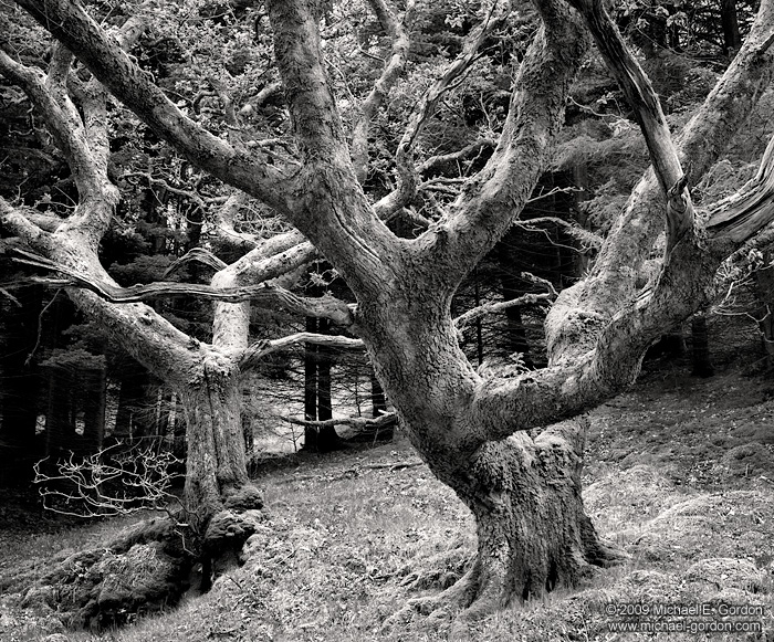 photo, picture, fine art print, black and white, oak trees, Scotland, Isle of Skye, photo