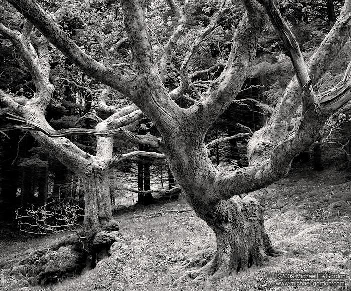 photo, picture, fine art print, black and white, oak trees, Scotland, Isle of Skye, photo