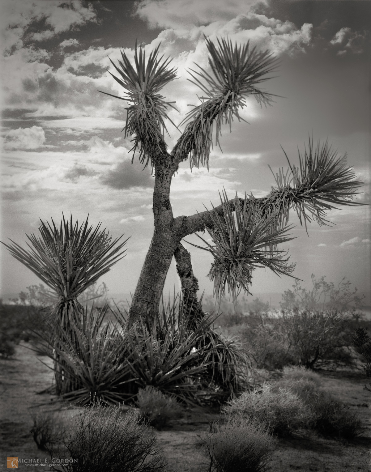 Mojave Yucca,Yucca schidigera,summer,monsoon,clouds,stormy,weather,Mojave National Preserve,shrubs,tree, photo