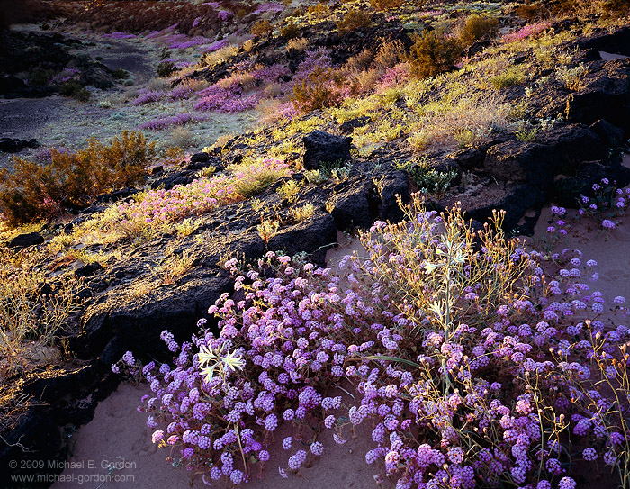 photo, picture, print, Sand Verbena, Desert Lily, sunset, Amboy Crater, photo