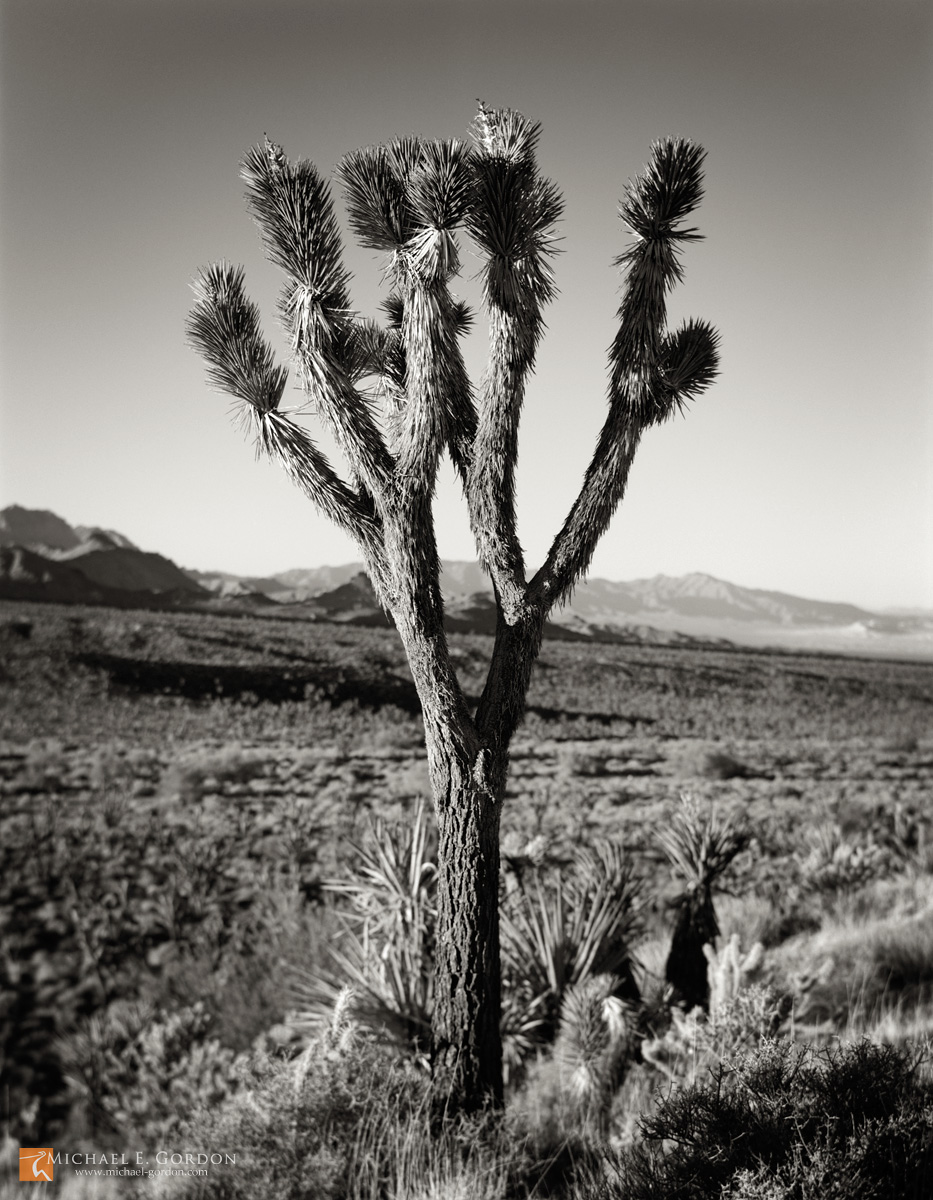 Joshua Trees,Yucca brevifolia,Mojave Yucca,Yucca schidigera,Mojave National Preserve,California,Providence Mountains,Granite Mountains,black and white,large format,photo,picture, photo