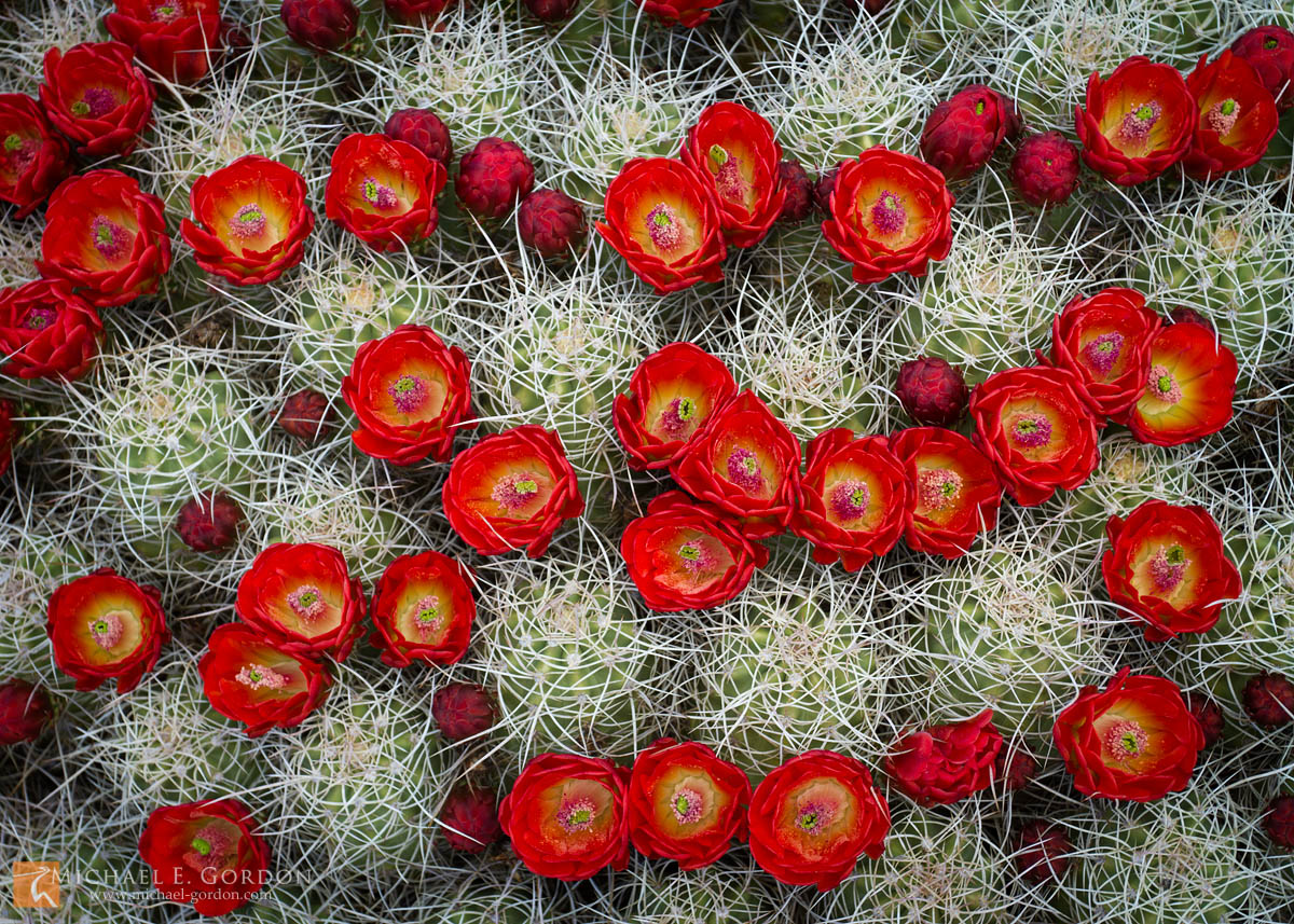 color,photo,picture,Mojave Mound Cactus,claret cup, kingcup cactus, Echinocereus triglochidiatus,Mojave desert,bloom,flowers,cactus,red,brilliant, wildflowers,buds,Mojave National Preserve,California, photo