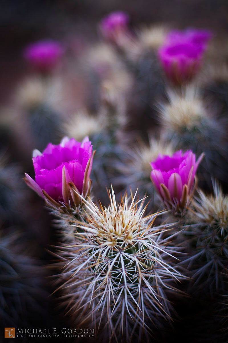 photo,picture,color,magenta,Engelmann's Hedgehog Cactus,Echinocereus engelmannii,bloom,flowers,spring,Mormon Mountains,Nevada, photo