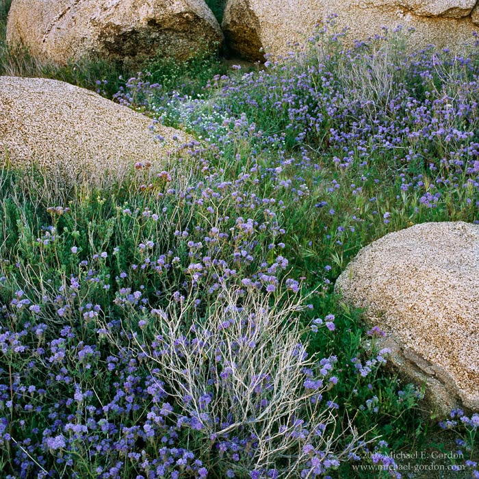 picture, photo, wildflowers, Anza-Borrego, phacelia, landscape, fine art print, photo