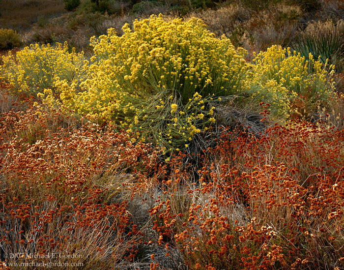 picture, photo, rabbitbrush, buckwheat, autumn, fall color, Erigonum, Chrysothamnus nauseosus, fine art print, photo