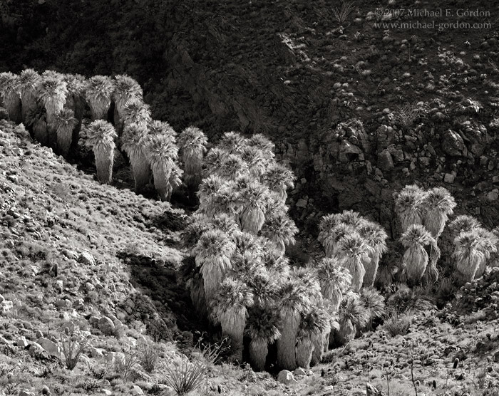 picture, photo, Carrizo Canyon, native desert palm oasis, Anza-Borrego, palm trees, Washingtonia filifera, ocotillo, black and white, landscape, fine art print, photo